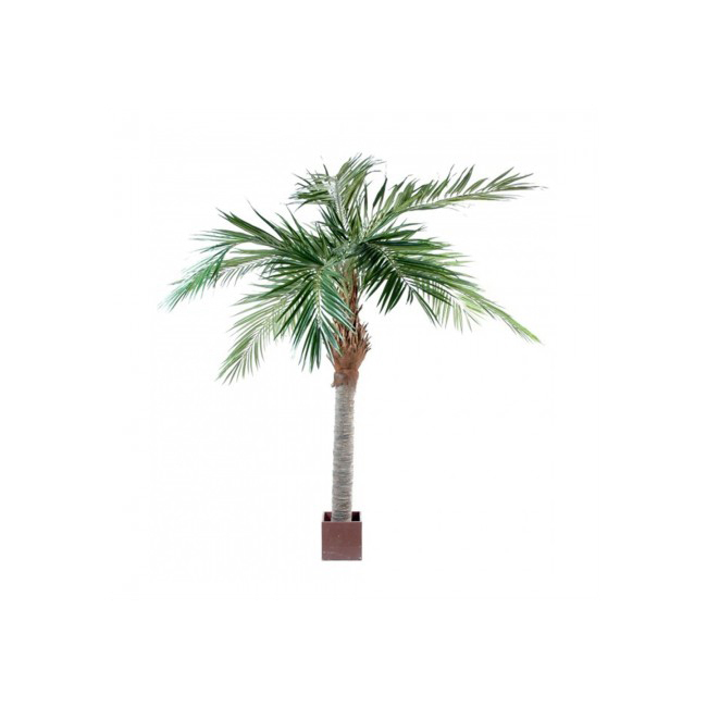 Majesty palm 3 m